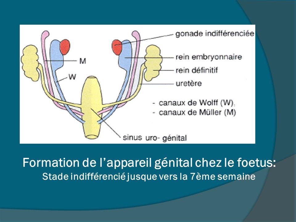 Formation de l'appareil génital chez le foetus: Stade indifférencié jusque vers la 7ème semaine
