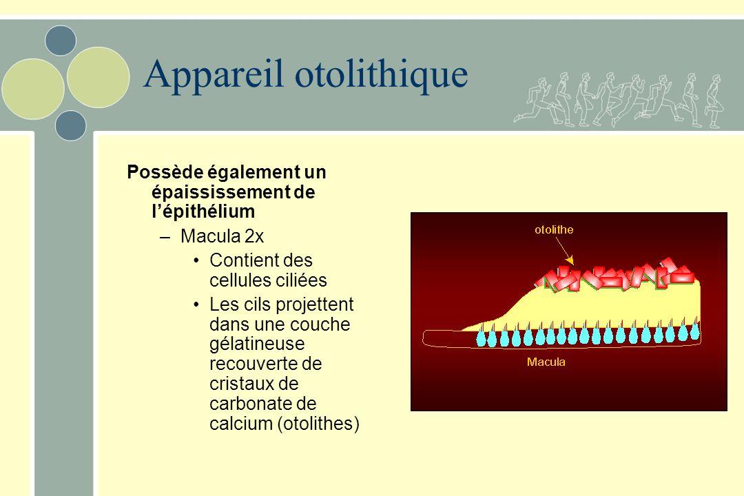Appareil otolithique Possède également un épaississement de l'épithélium. Macula 2x. Contient des cellules ciliées.