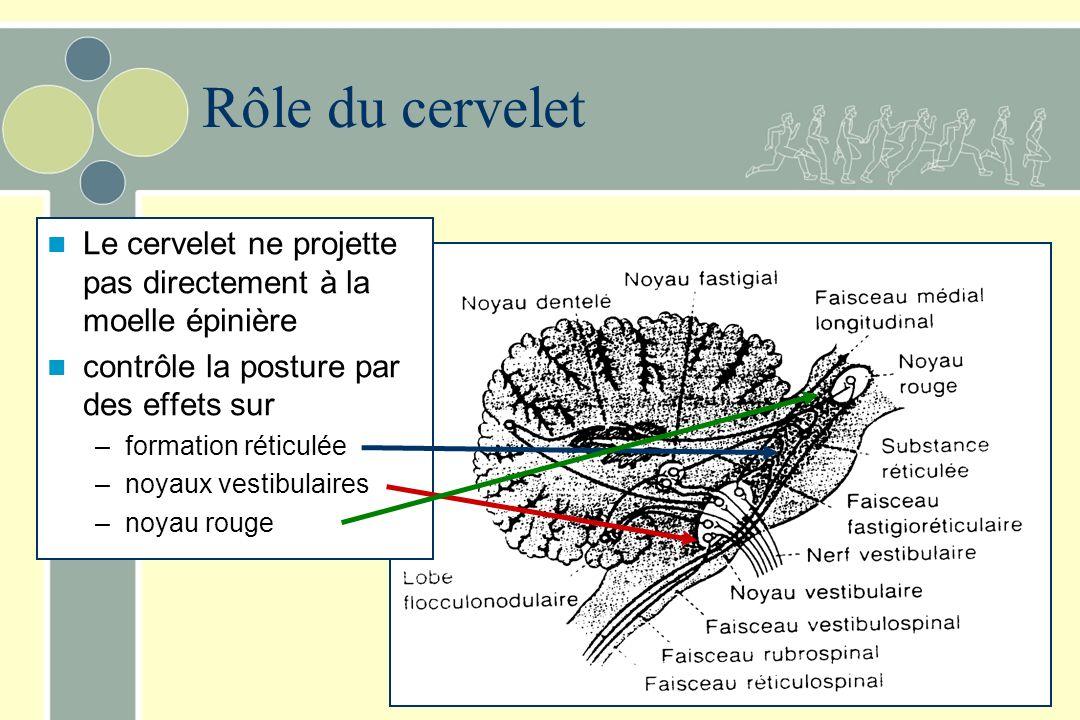 Rôle du cervelet Le cervelet ne projette pas directement à la moelle épinière. contrôle la posture par des effets sur.