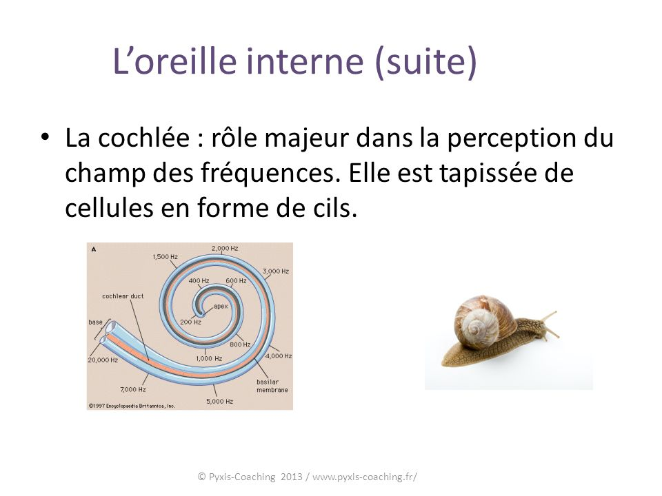 L'oreille interne (suite)