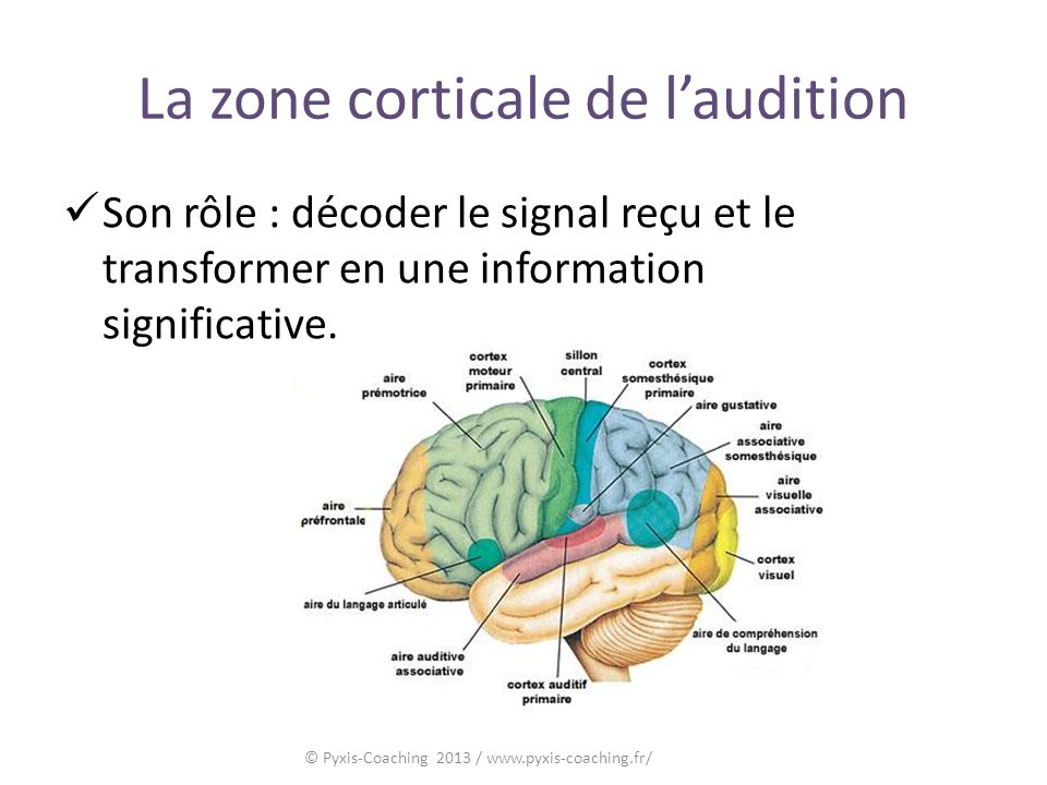La zone corticale de l'audition