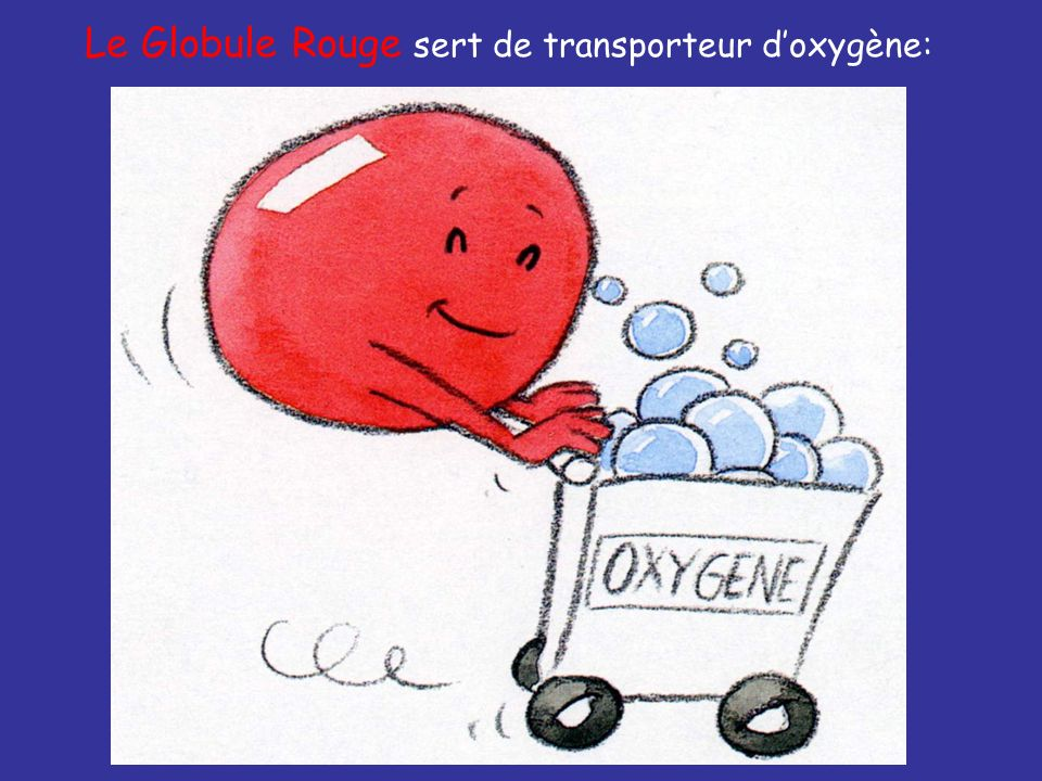 Le Globule Rouge sert de transporteur d'oxygène: