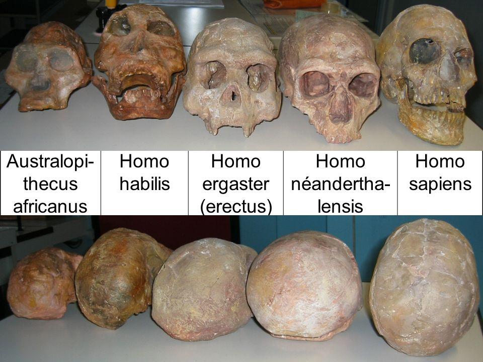 Australopi-thecus africanus Homo habilis Homo ergaster (erectus)