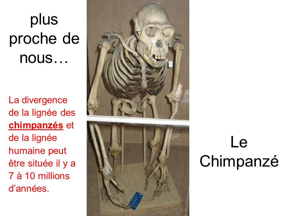 plus proche de nous… Le Chimpanzé