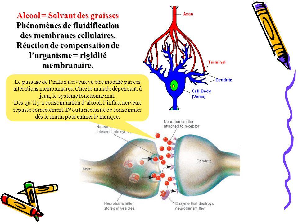 Alcool = Solvant des graisses Phénomènes de fluidification des membranes cellulaires. Réaction de compensation de l'organisme = rigidité membranaire.