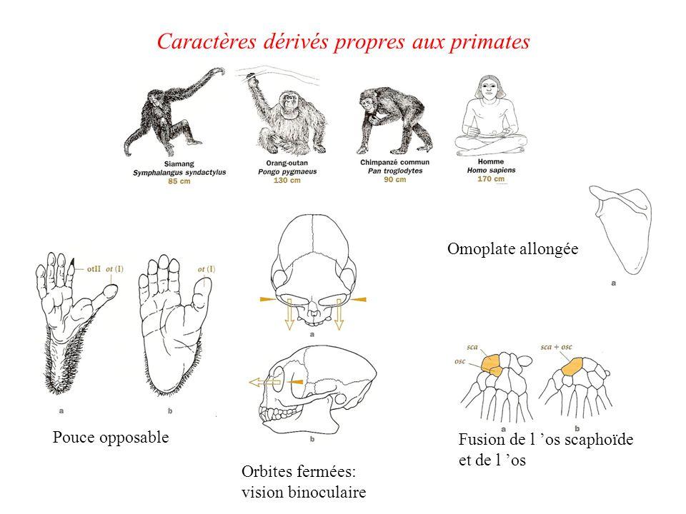 Caractères dérivés propres aux primates