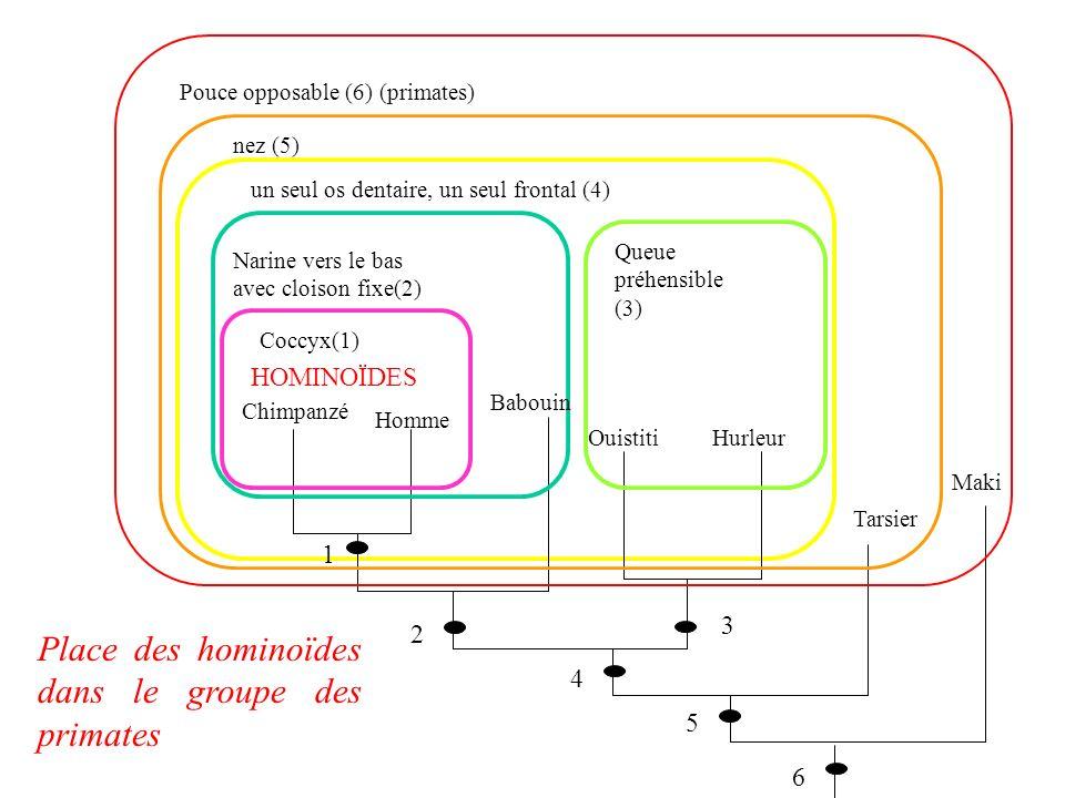 Place des hominoïdes dans le groupe des primates