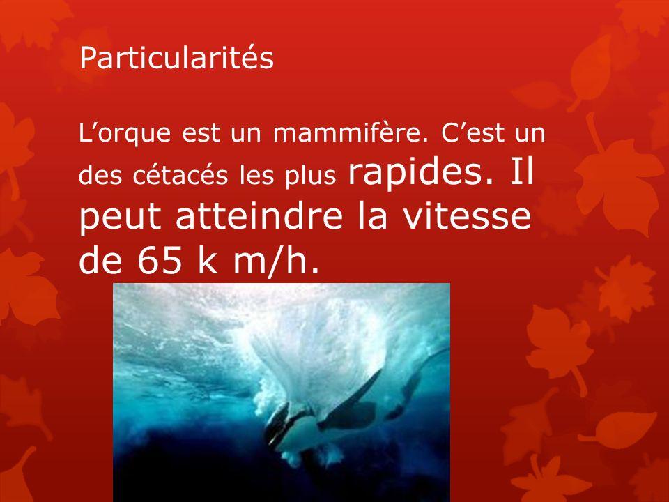 Particularités L'orque est un mammifère. C'est un des cétacés les plus rapides.