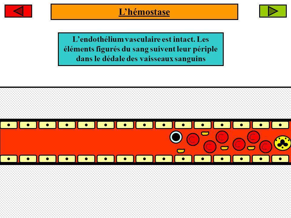 L'hémostase L'endothélium vasculaire est intact.