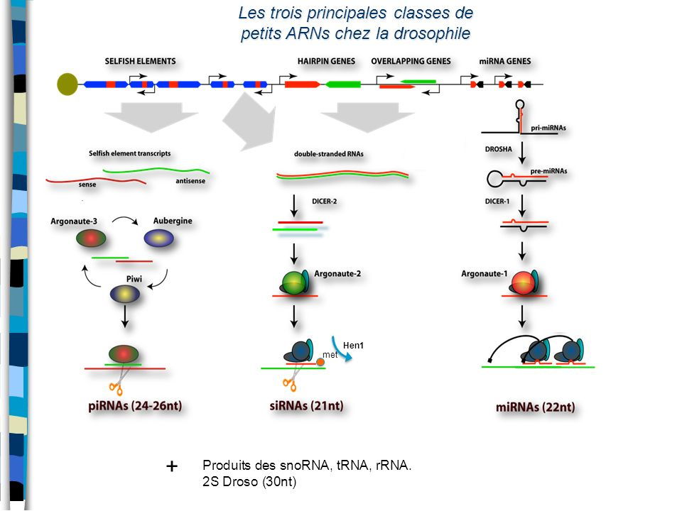 Les trois principales classes de petits ARNs chez la drosophile