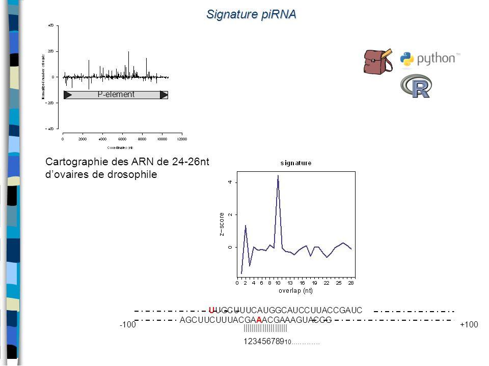 Signature piRNA P-element. Cartographie des ARN de 24-26nt d'ovaires de drosophile. UUGCUUUCAUGGCAUCCUUACCGAUC.