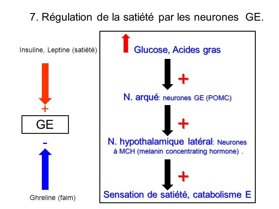+ + - GE 7. Régulation de la satiété par les neurones GE.