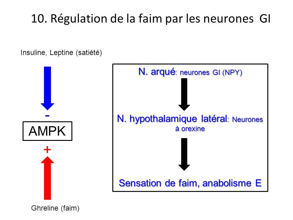 - + 10. Régulation de la faim par les neurones GI AMPK