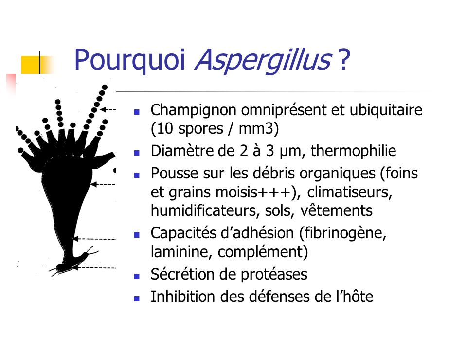 Pourquoi Aspergillus Champignon omniprésent et ubiquitaire (10 spores / mm3) Diamètre de 2 à 3 µm, thermophilie.