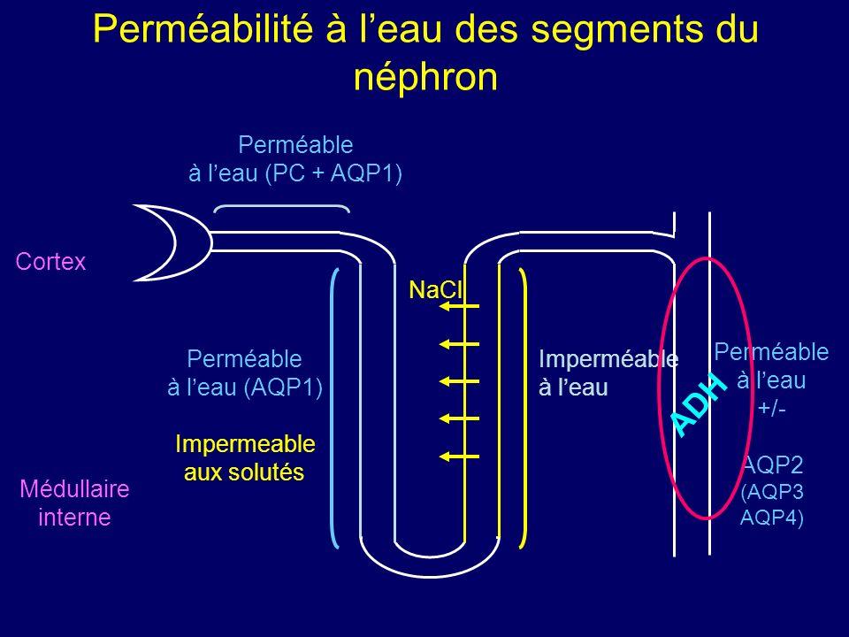 Perméabilité à l'eau des segments du néphron