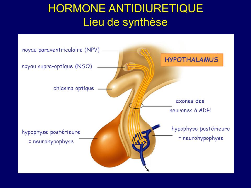 HORMONE ANTIDIURETIQUE Lieu de synthèse