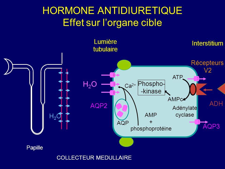 HORMONE ANTIDIURETIQUE Effet sur l'organe cible