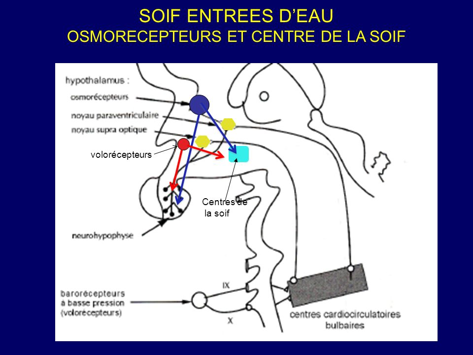 OSMORECEPTEURS ET CENTRE DE LA SOIF