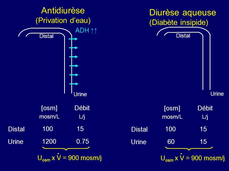 Antidiurèse (Privation d'eau)