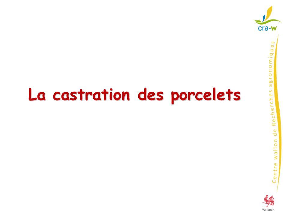 La castration des porcelets