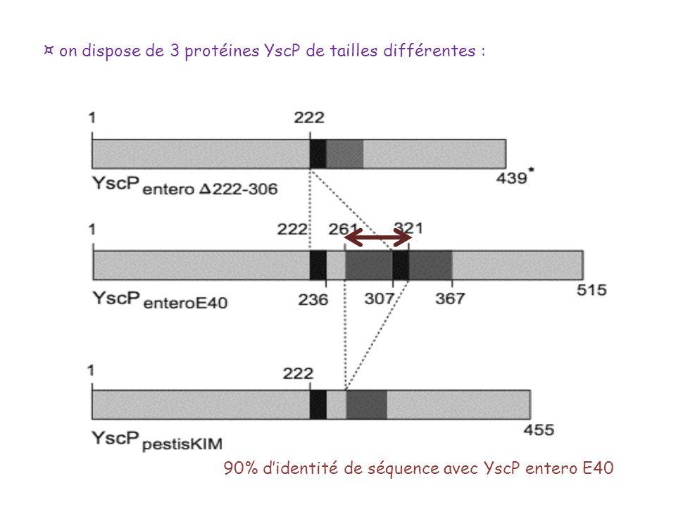 ¤ on dispose de 3 protéines YscP de tailles différentes :