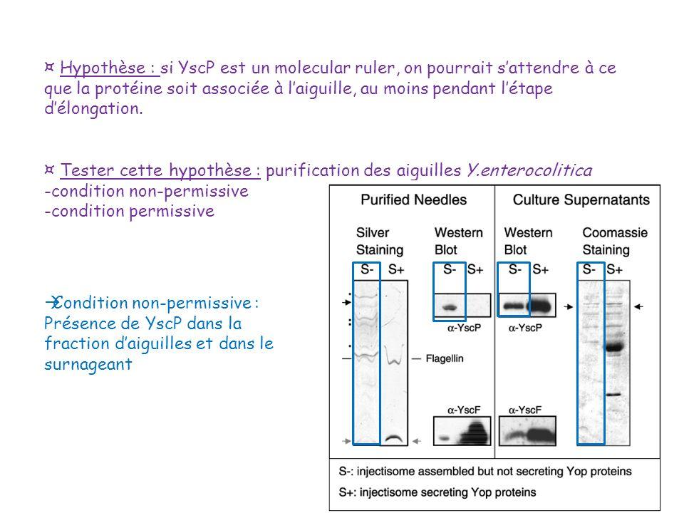 ¤ Hypothèse : si YscP est un molecular ruler, on pourrait s'attendre à ce que la protéine soit associée à l'aiguille, au moins pendant l'étape d'élongation.