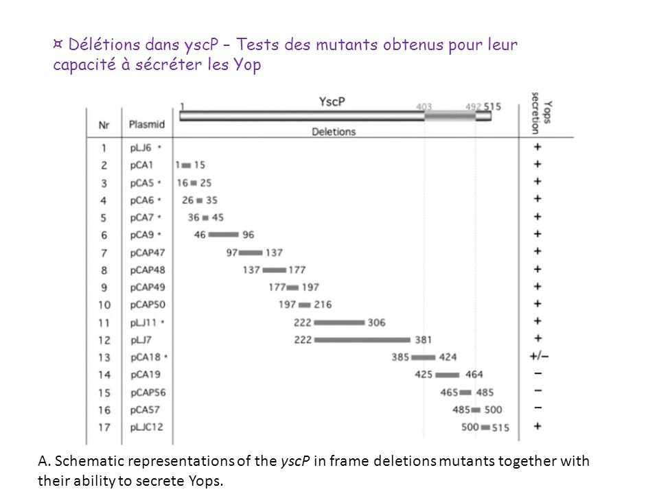 ¤ Délétions dans yscP – Tests des mutants obtenus pour leur capacité à sécréter les Yop
