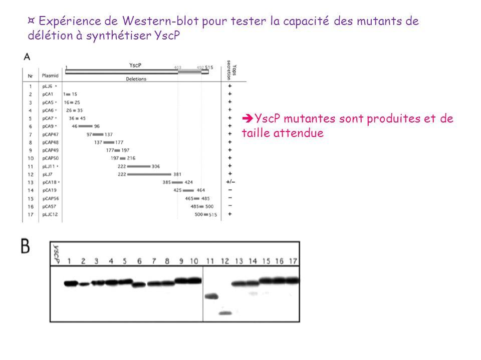 ¤ Expérience de Western-blot pour tester la capacité des mutants de délétion à synthétiser YscP