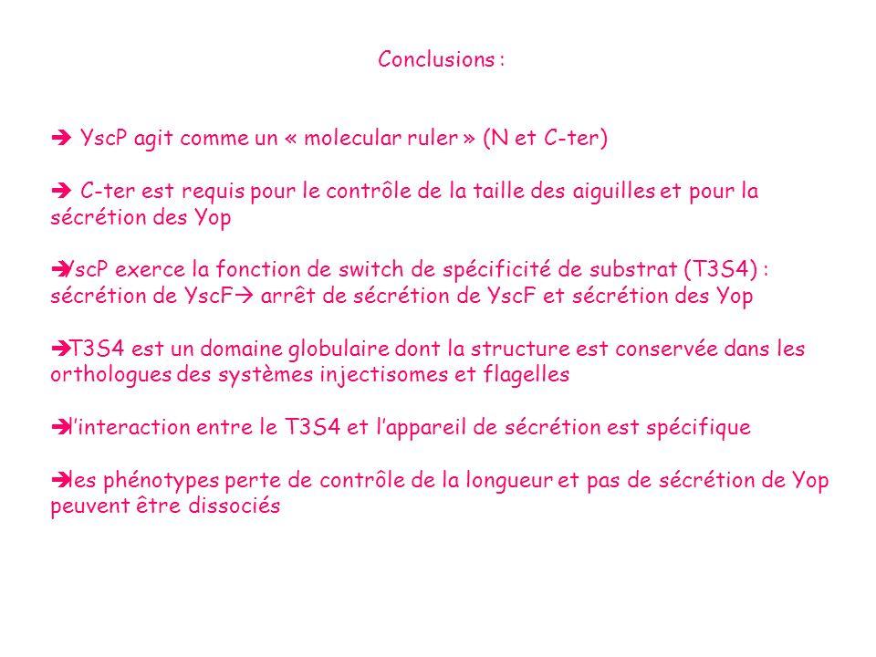 Conclusions :  YscP agit comme un « molecular ruler » (N et C-ter)