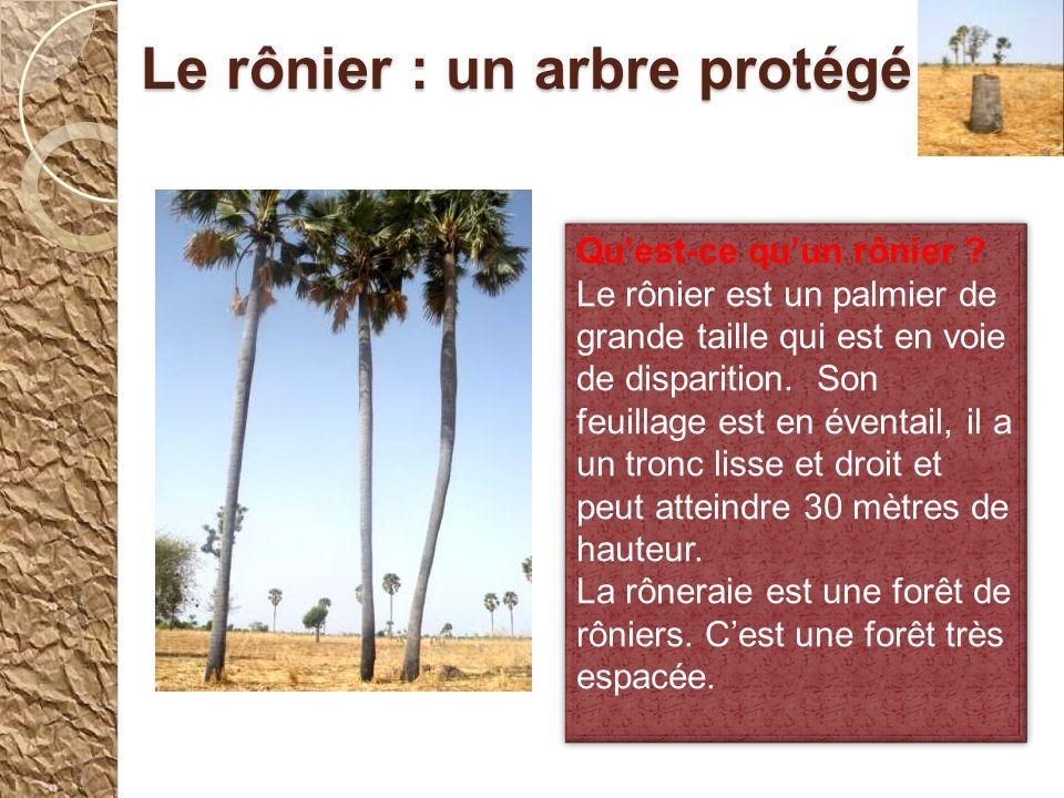 Le rônier : un arbre protégé