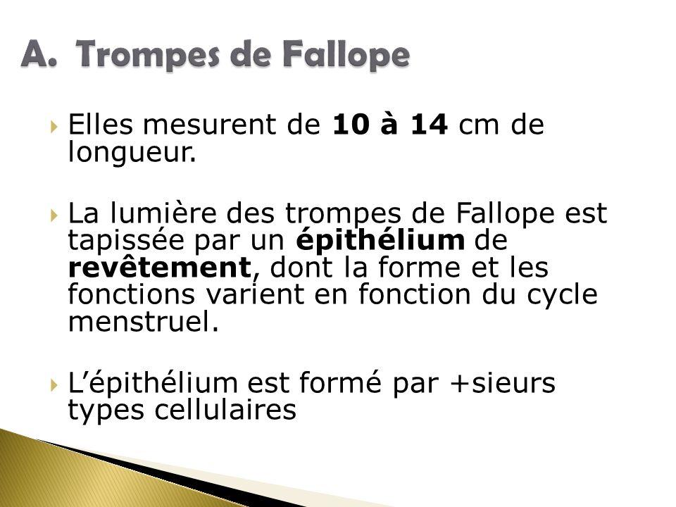 Trompes de Fallope Elles mesurent de 10 à 14 cm de longueur.