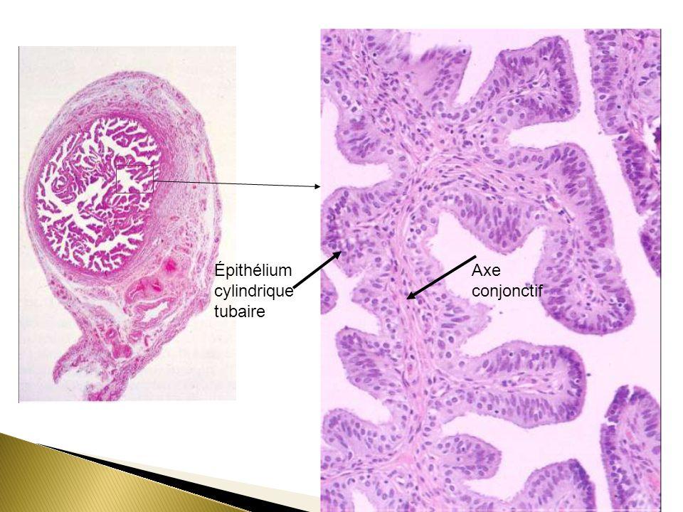 Épithélium cylindrique
