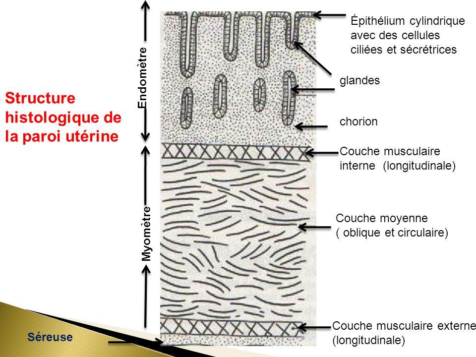 Structure histologique de la paroi utérine