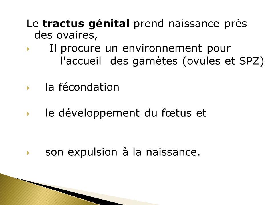 Le tractus génital prend naissance près des ovaires,