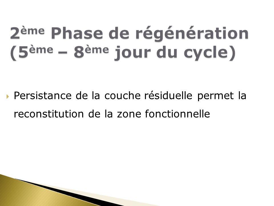 2ème Phase de régénération (5ème – 8ème jour du cycle)