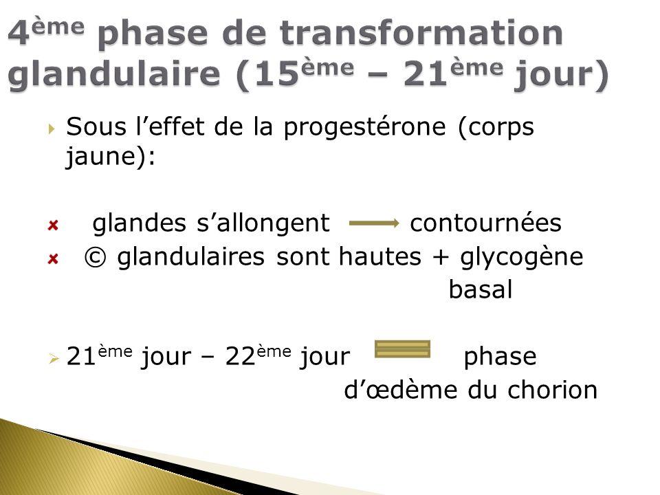 4ème phase de transformation glandulaire (15ème – 21ème jour)