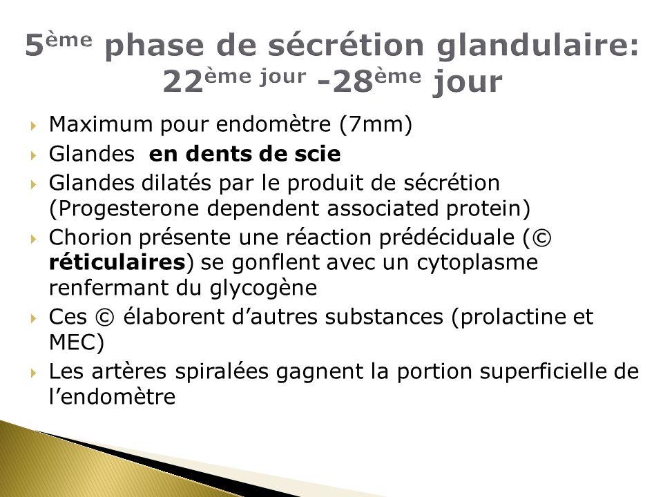 5ème phase de sécrétion glandulaire: 22ème jour -28ème jour