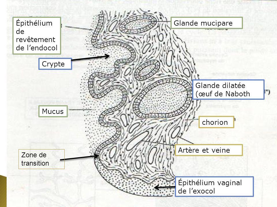 Épithélium vaginal de l'exocol