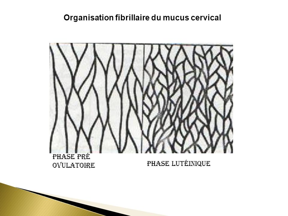 Organisation fibrillaire du mucus cervical