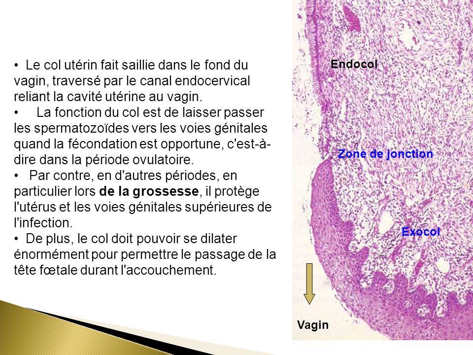 Le col utérin fait saillie dans le fond du vagin, traversé par le canal endocervical reliant la cavité utérine au vagin.