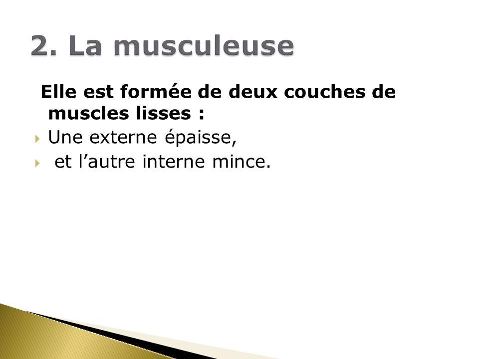 2. La musculeuse Elle est formée de deux couches de muscles lisses :