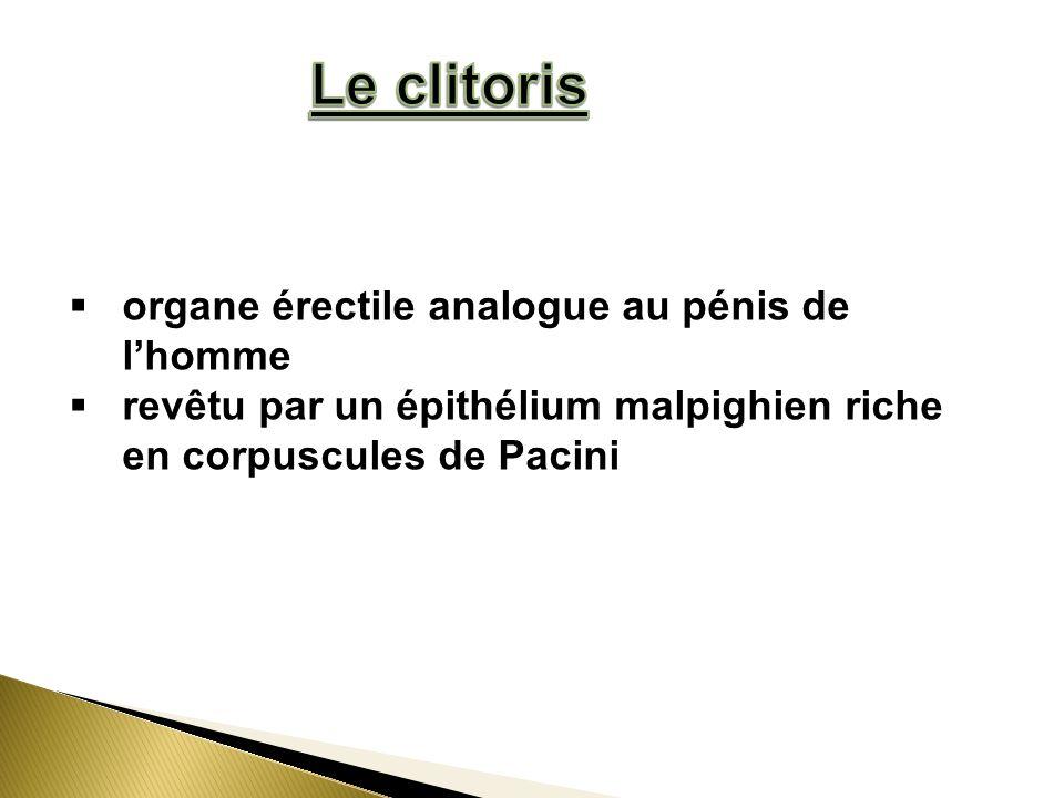Le clitoris organe érectile analogue au pénis de l'homme