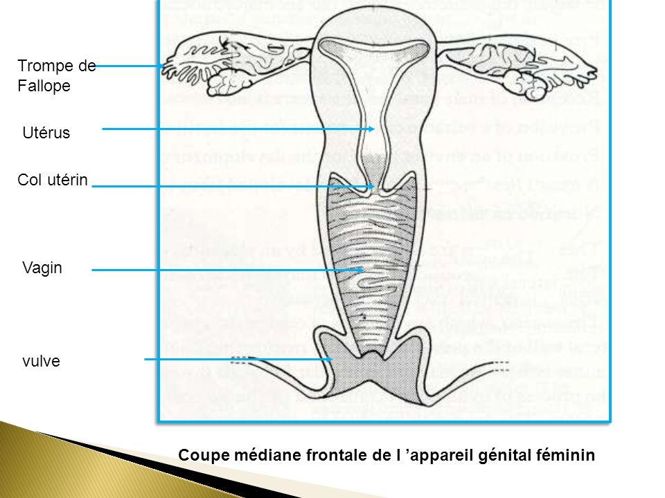 Trompe de Fallope Utérus. Col utérin. Vagin. vulve.