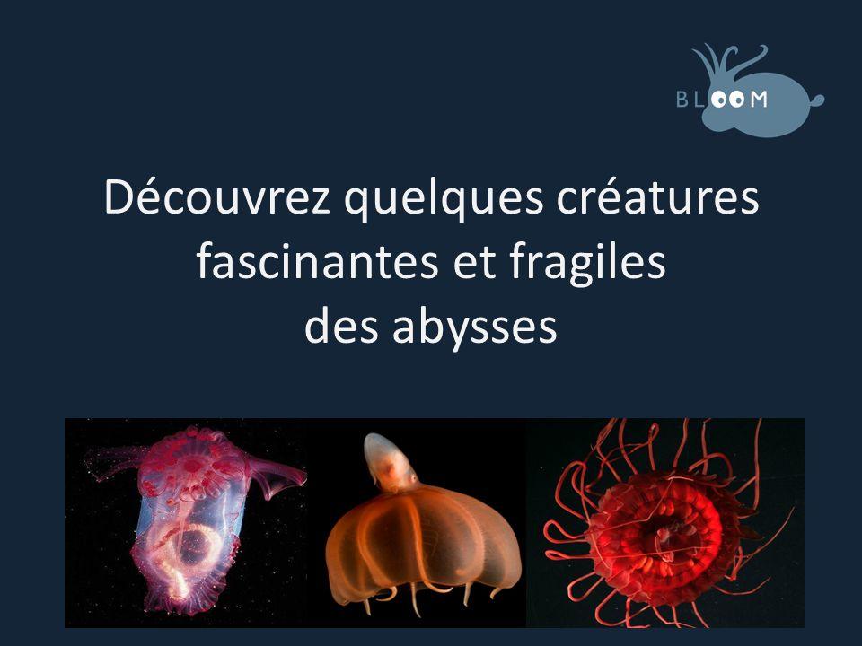 Découvrez quelques créatures fascinantes et fragiles des abysses