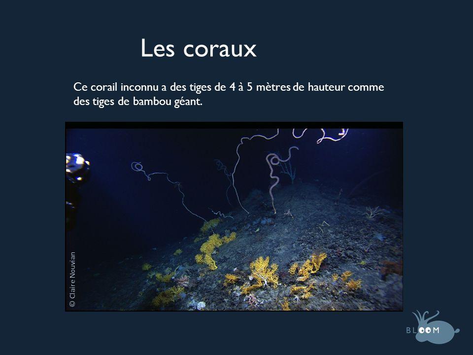 Les coraux Ce corail inconnu a des tiges de 4 à 5 mètres de hauteur comme des tiges de bambou géant.