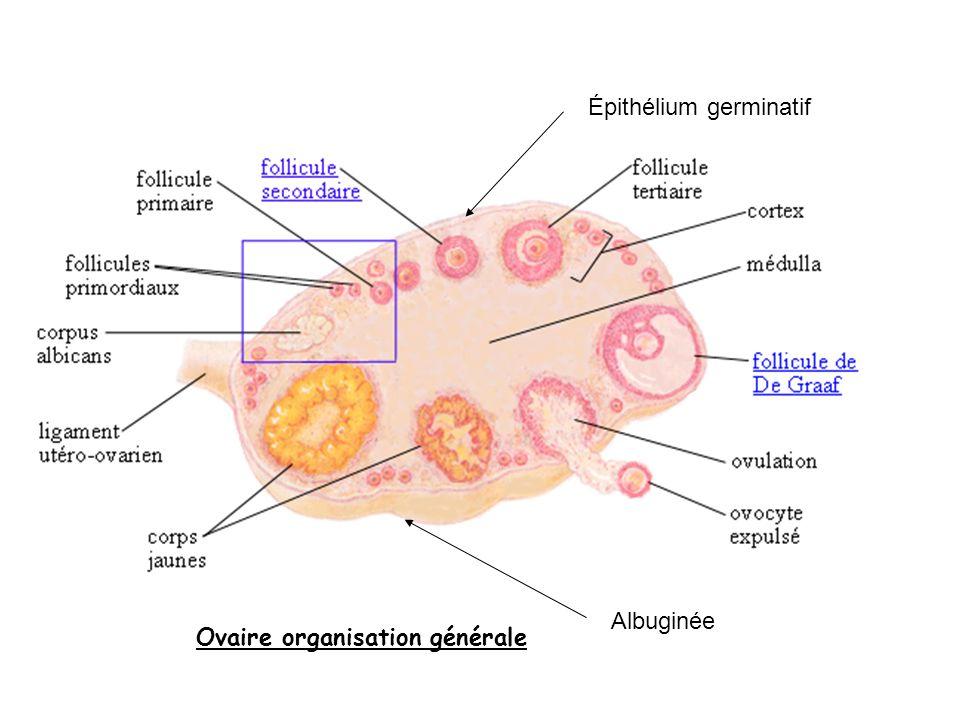 Épithélium germinatif