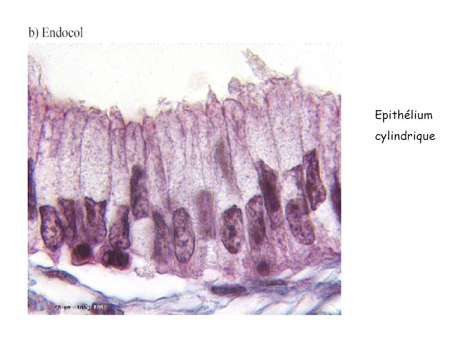 Epithélium cylindrique