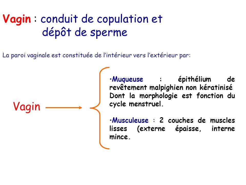 Vagin : conduit de copulation et dépôt de sperme