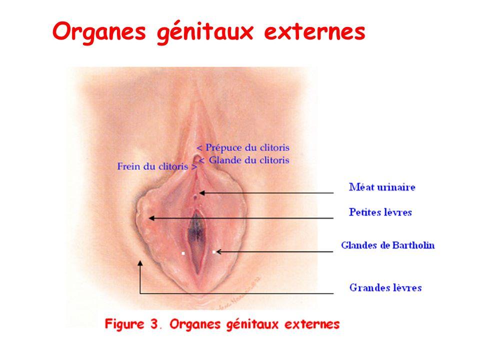 Organes génitaux externes