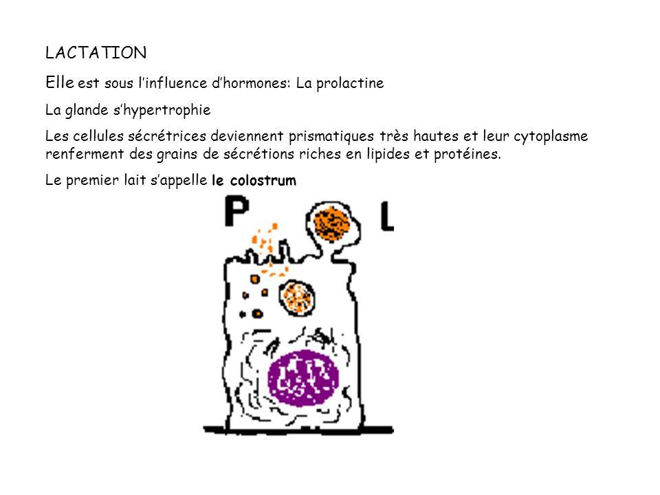Elle est sous l'influence d'hormones: La prolactine